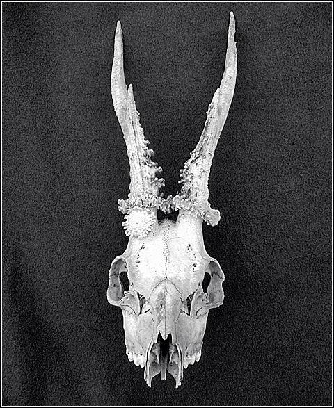 Deer-Skull